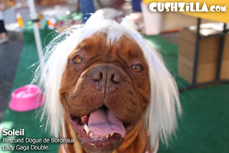 Soliel, Rescued Dogue de Bordeaux