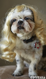 Dog Wig / Cat Wig: Cushzilla Wavy Blonde Wig for Dogs And Cats
