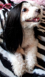 Cat Wig / Dog Wig: Cushzilla Classic Cher Long Black Straight Wig