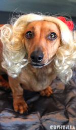 Dog Wig / Cat Wig: Cushzilla Curly Blonde Wig for Dogs And Cats