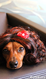 Cat Wig / Dog Wig: Cushzilla Curly Brunette Wig for Cats And Dogs