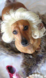 Cushzilla Gentlemen Prefer Blonde Wig for Cats And Dogs