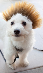 Dog Wig / Cat Wig: Cushzilla Ombre Spiked Bro Wig for Dogs And Cats