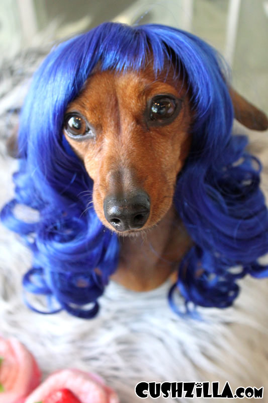 dog with a wig
