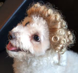 Dog Wig / Cat Wig: Cushzilla Blonde Ombre Tight Curls Wig for Dogs & Cats