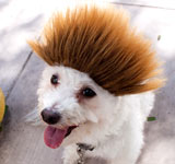 Spiked Bro Dog Wig / Ombre Spike Cat Wig